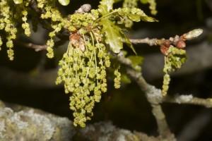 MG_0179-Quercus-robur-Pedunculate-oak-male-catkins