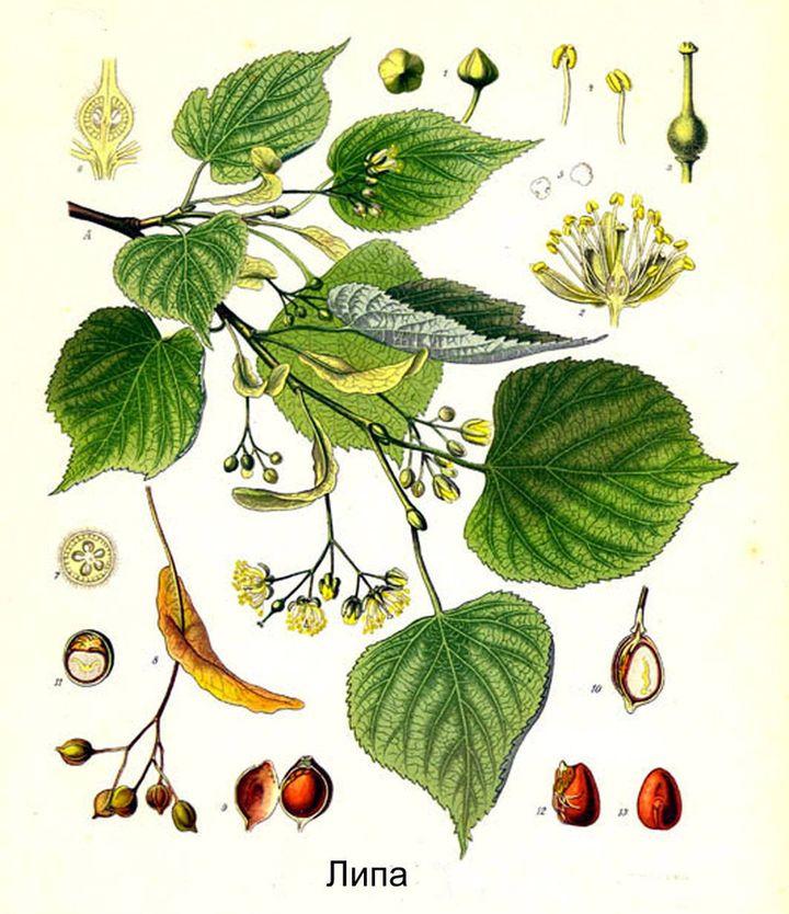 Listya-tsvety-i-semena-lipy